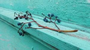 Branche de vigne de raisins bleus, sur du bois peint en turquoise.