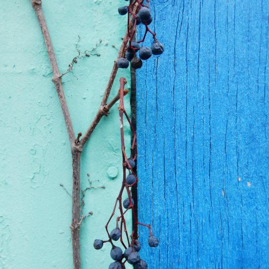Mur turquoise du côté gauche, bleu électrique à droite. Il y a une ligne noire qui sépare les deux côté. En avant-plan, il y a une branche de vigne avec des raisins bleus desséchés.