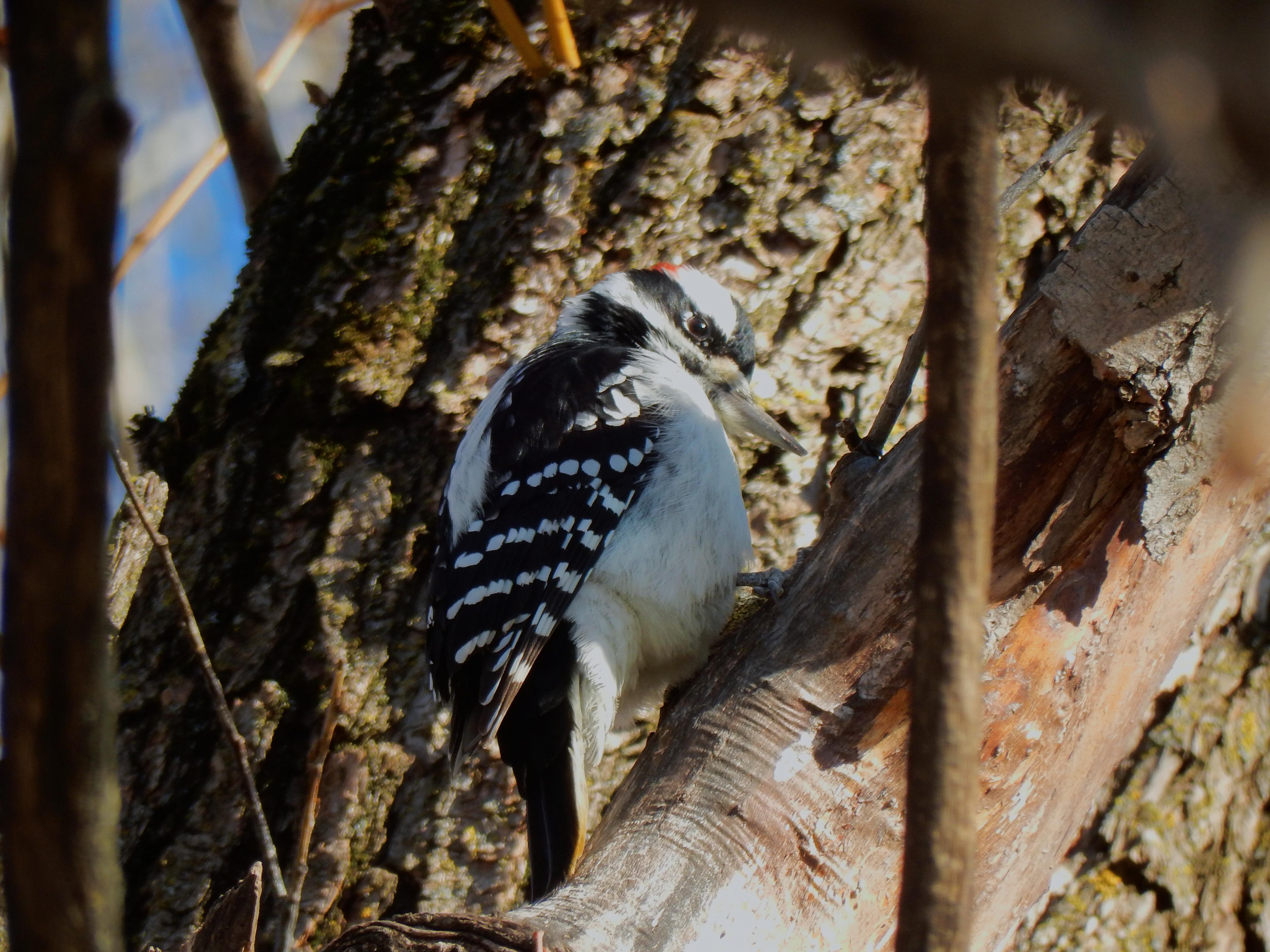 Petit pic-bois dans un arbre du parc Maisonneuve.